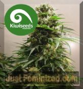 Kiwi Kiwiskunk regular cannabis strains worldwide delivery